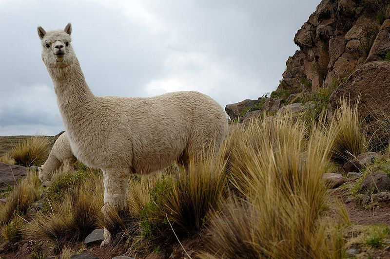 A pair of Huacaya alpacas near an Inca burial site in, Peru. By Christophe Meneboeuf